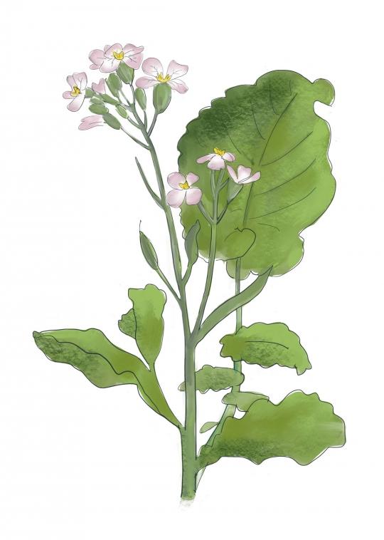 raphanus sativus L. 100 SEMI BIO Seedeo ® Ravanelli Vienna TONDO Kohl nero